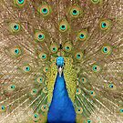 Peacock Displaying Feathers (head on) by Richard Heeks