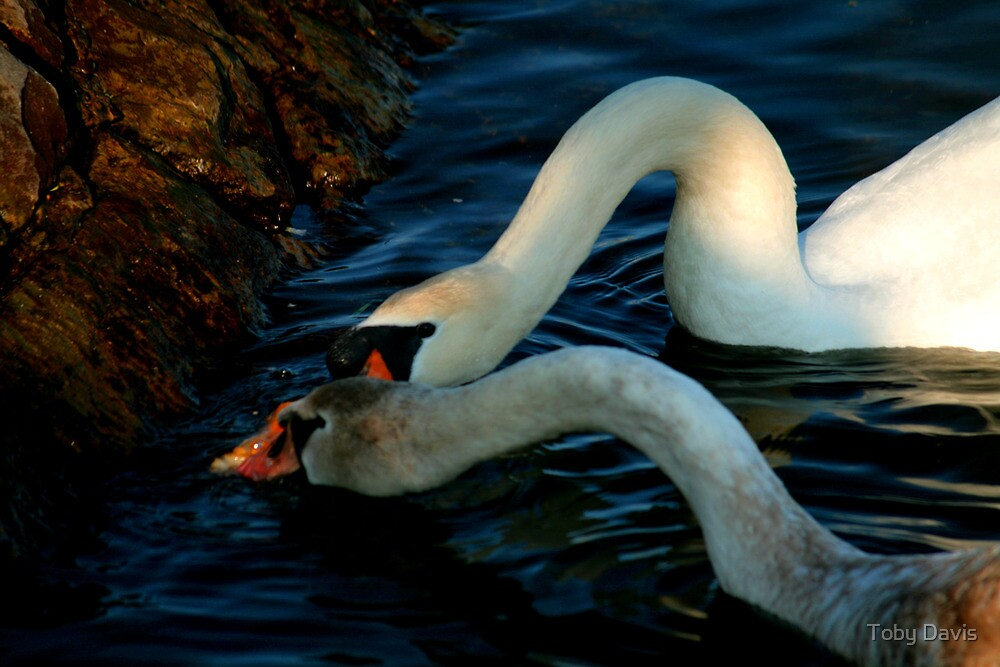 River Bank Swans Nature Pictures for Sale by Toby Davis