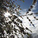 Spring Sunburst by BlueMoonRose