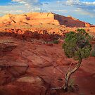Desert Juniper by Inge Johnsson