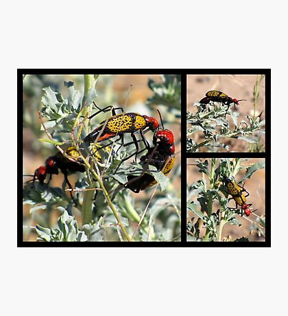 Iron-Cross Blister Beetle ~ Collage Photographic Print