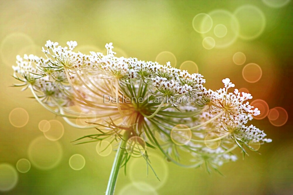 Bokeh Queen Anne's Lace by Darlene Lankford Honeycutt