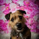 ROXIE // Lakeland X Border Terrier by Peggy Colclough