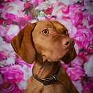 SKILLY // Hungarian Vizsla by Peggy Colclough