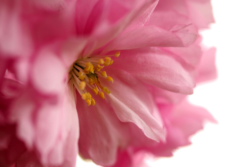 Cherry Blossom by Derek McMorrine