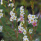 Tea Tree, Leptospermum by lezvee