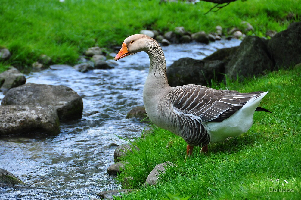 Quot Beautiful Goose Quot By Daidalos Redbubble