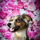 PEPPER / (TRI-MERLE) BORDER COLLIE by Peggy Colclough