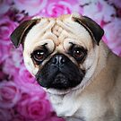 FRANK / Pug by Peggy Colclough
