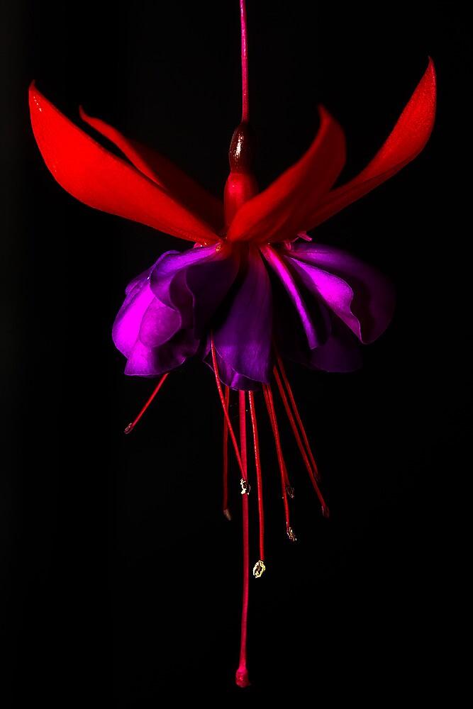 Fuchsia #1 by Jason Green