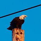 One Mad Bald Eagle by Kat Miller