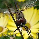Dragonfly #4 by Bevellee