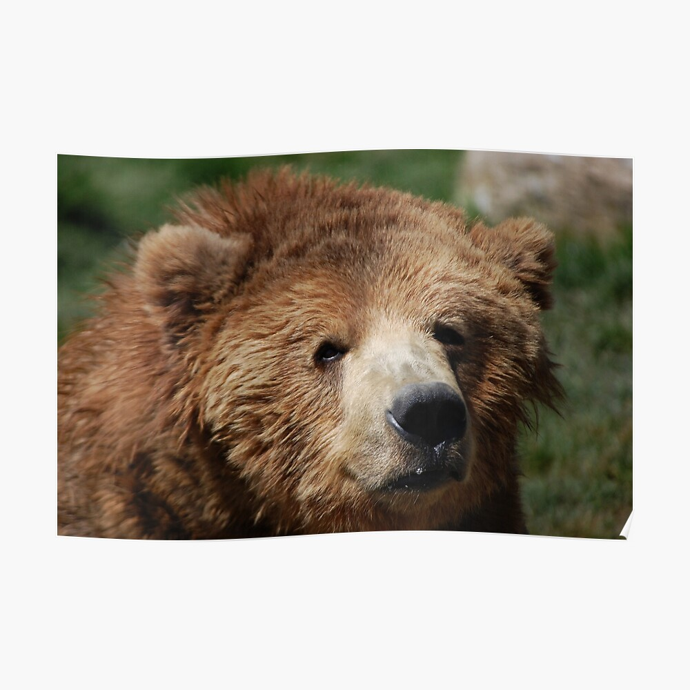 """Kodiak Bear"" Poster By Jonice"