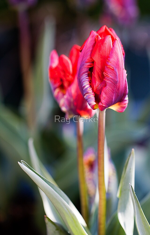 Simply Red by Ray Clarke