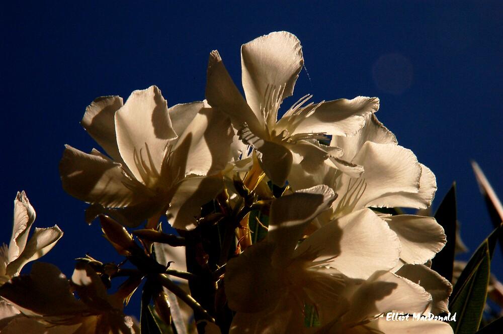 White Flowers - California Blue Sky by Elliot MacDonald