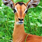 IMPALA BABY, EYES AND EARS! - BLACK-FACED IMPALA _Aepyceros melampus petersi by Magriet Meintjes