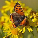 Small Copper Butterfly (Lycaena phlaeas) by Tony4562
