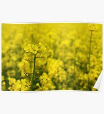 Brassica napus Poster