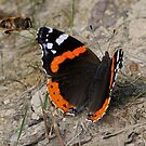 Red Admiral + Bee by Tony4562