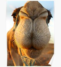 Candid camel Poster