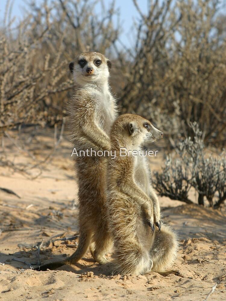 Kalahari meerkats by dailyanimals