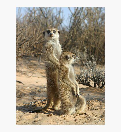 Kalahari meerkats Photographic Print