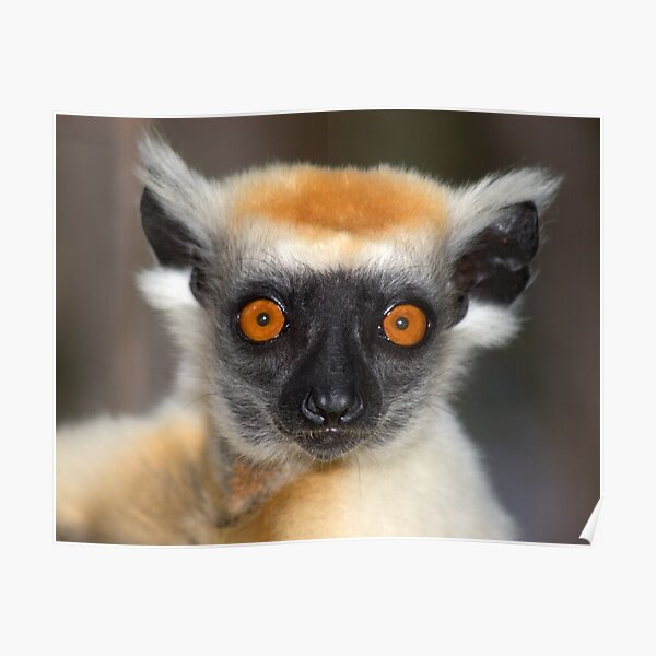 Look into the eyes of the lemur Poster