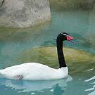 Swan at the Aquarium by Lyn Fabian
