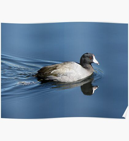 American Coot Poster