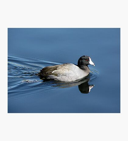 American Coot Photographic Print