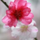 Blossom by Kym Howard