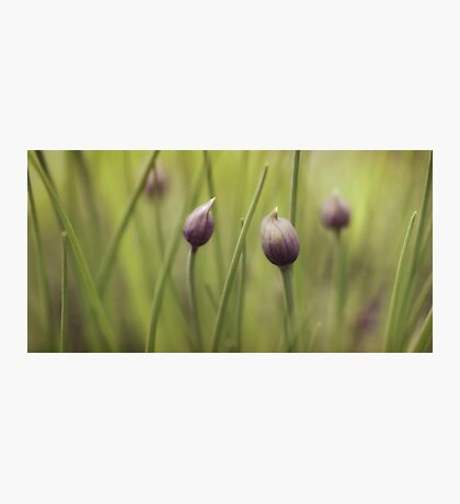 Pastel Chives Photographic Print