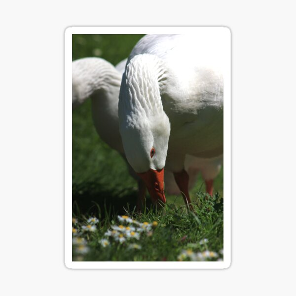 Domestic goose eating grass Sticker