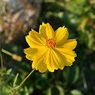 Pretty Little Yellow Flower. by kkphoto1