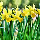 Daffodils for the Love of Spring! by KnutsonKr8tions