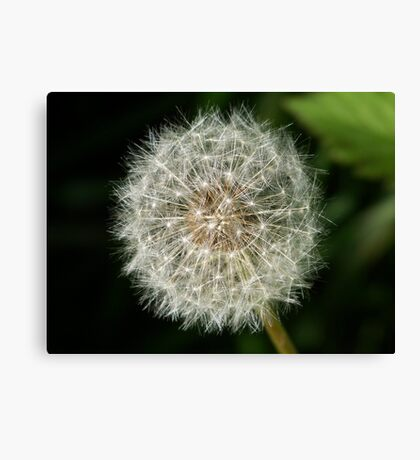 A dandelion clock ready to release it's seeds. Canvas Print