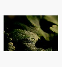 Coriander Photographic Print