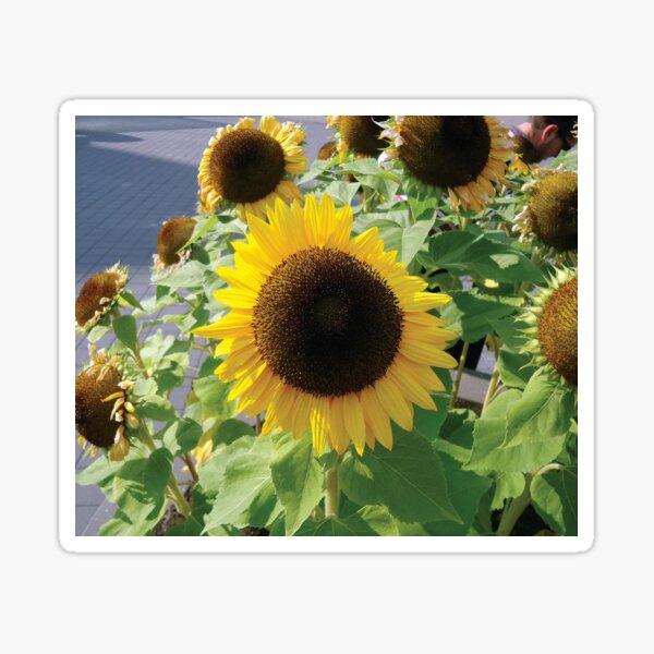 Sunflower Girasol Photo Sticker