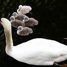 swans by wistine