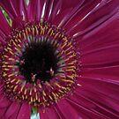 Daisy Pink by Diane Petker