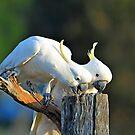 Sulphur Crested Cockatoos. Brisbane, Queensland, Australia. by Ralph de Zilva
