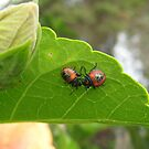 Two Baby Hibiscus Beetles. by Mywildscapepics