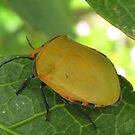 A Yellow Hibiscus Beetle. by Mywildscapepics