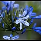 ~Bursting Force of Blue's_ Agapanthus or African Lily~ by Kelly Normandeau