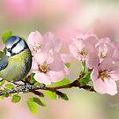 Kleine Blaumeise auf Apfelblüte von Morag Bates