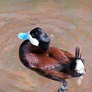 Blue-billed Duck by wayatsagi