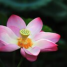 Beautiful Lotus by Steven  Siow