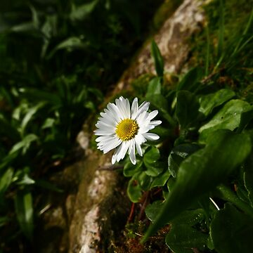 Common Daisy (Bellis perennis) by IOMWildFlowers