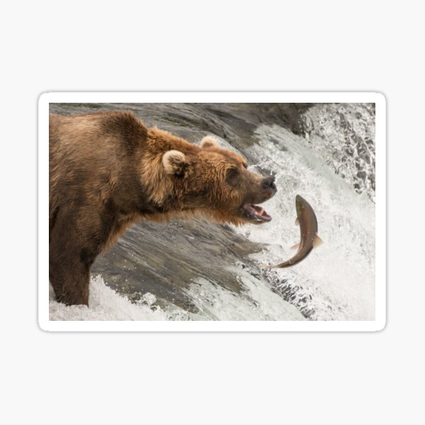 Brown bear about to catch a salmon Sticker