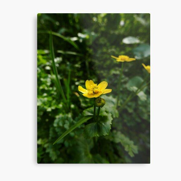 Marsh Marigold (Caltha palustris) Metal Print